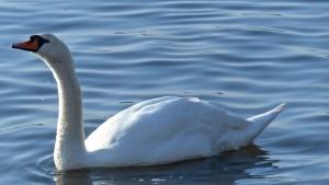 Mute Swan (David Lindo)