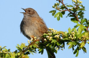 Dunnock (Mandy West)