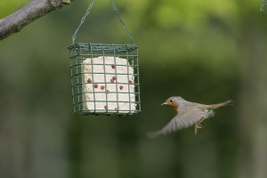 Mini bird cake feeder containing berry cake, Robin, Erithacus rubecula, hovering and feeding